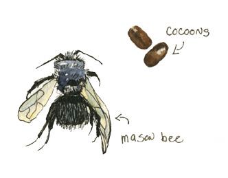 Masonbee