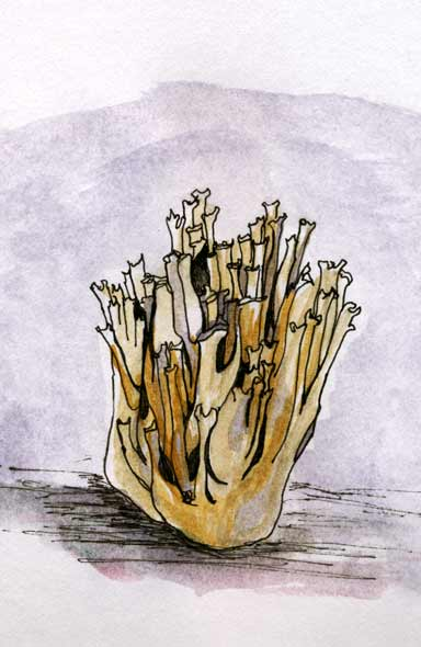 Coralfungus