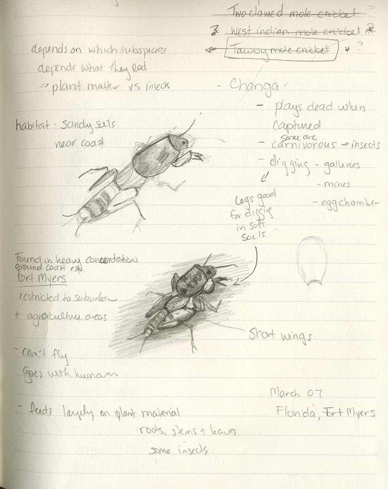 Mole-cricket