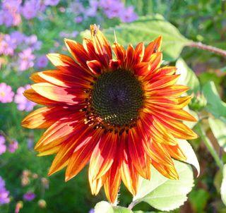 Sunflowermix