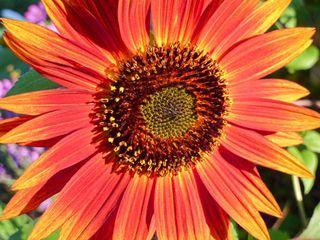 Sunflowermix1
